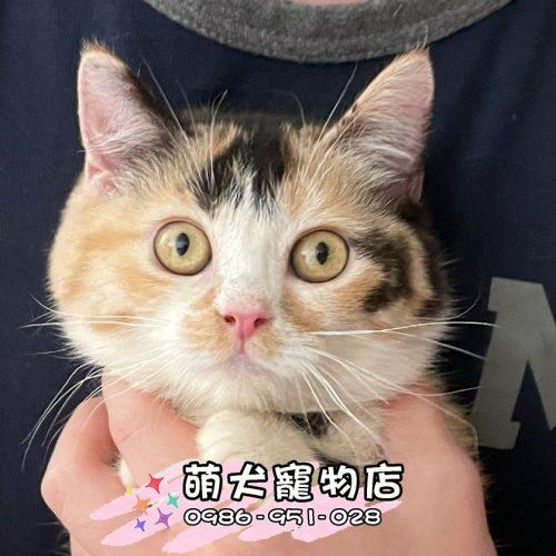 曼赤肯短腿貓